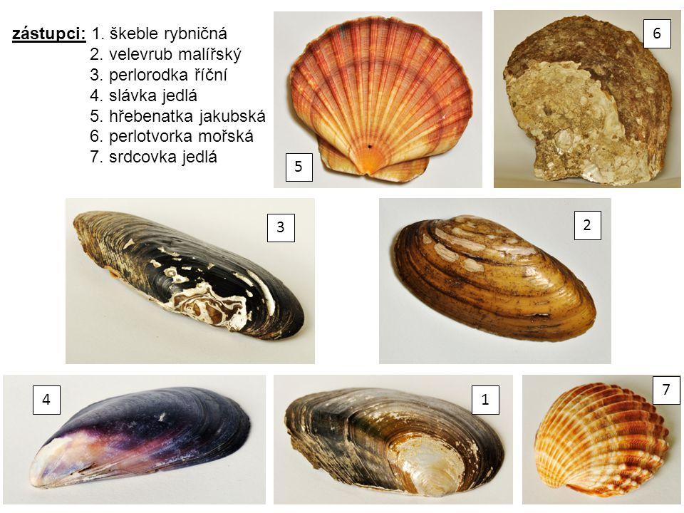 zástupci: 1. škeble rybničná 2. velevrub malířský 3. perlorodka říční 4. slávka jedlá 5. hřebenatka jakubská 6. perlotvorka mořská 7. srdcovka jedlá 5