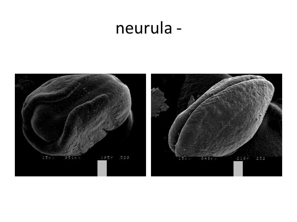 neurula -