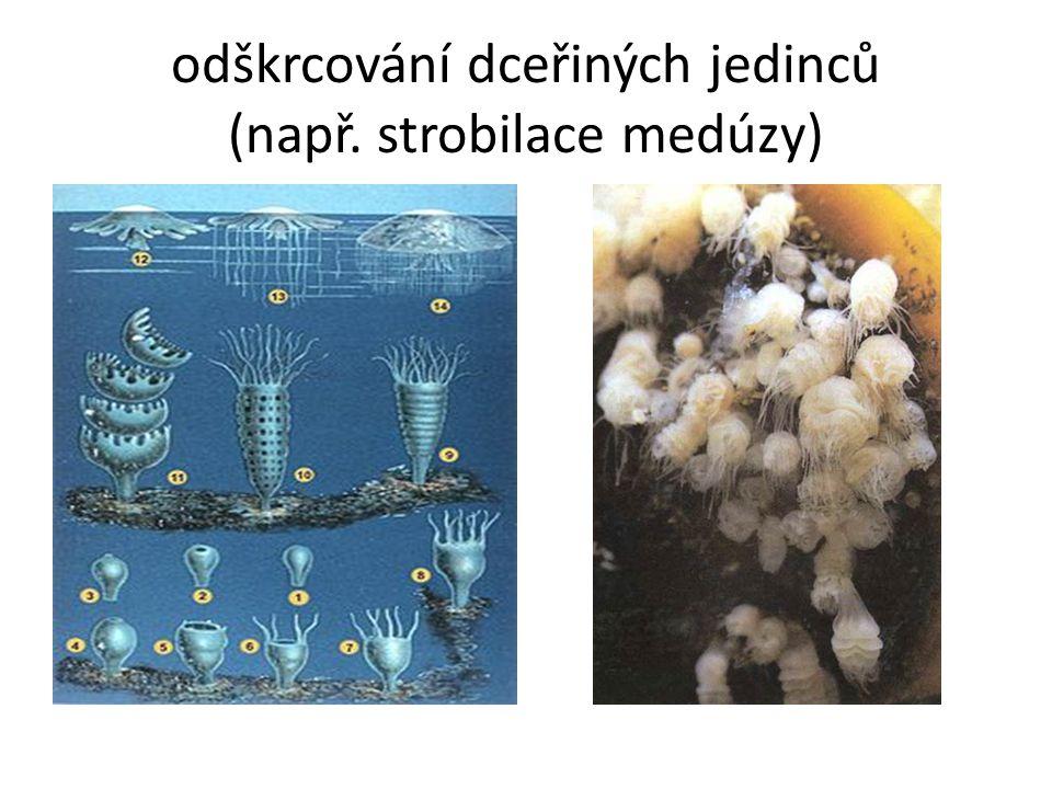 odškrcování dceřiných jedinců (např. strobilace medúzy)