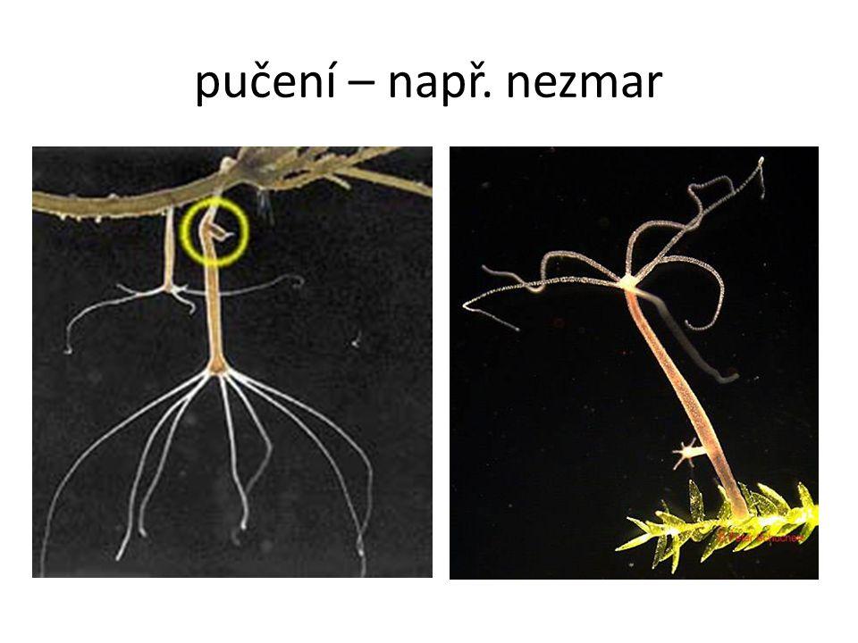 vznik neuruly - neurulace