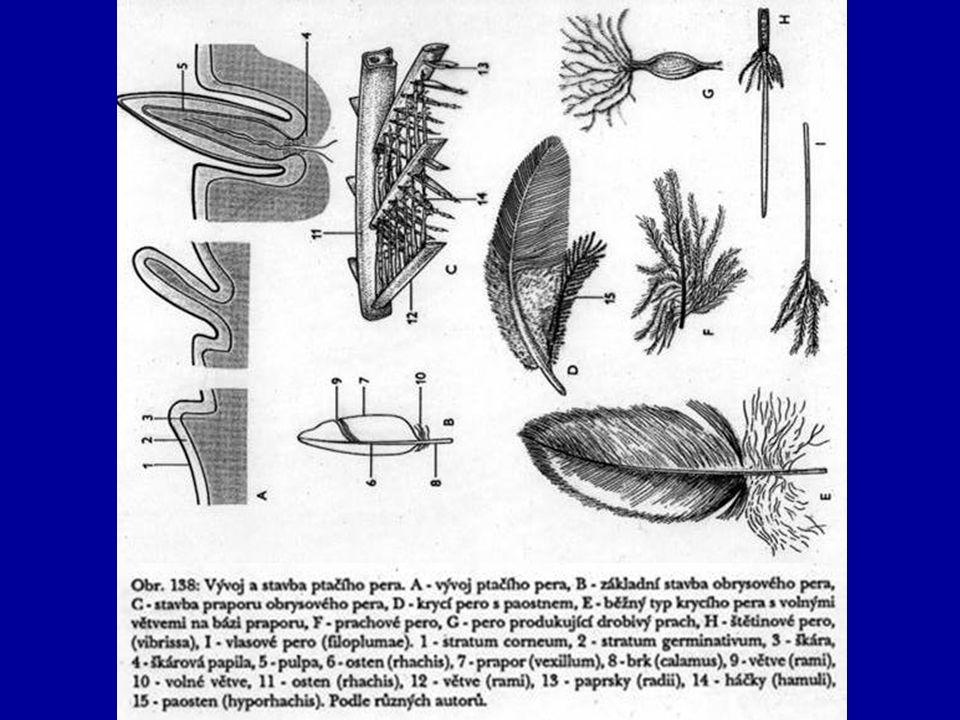 Ptáci rozmnožovací soustava –oddělené pohlaví –pohlavní dimorfismus –varlata se při páření zvětšují –oplození vnitřní bez spec.
