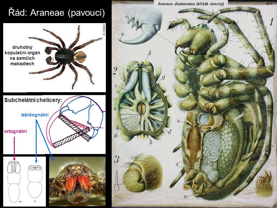 Řád: Araneae (pavouci) druhotný kopulační orgán na samčích makadlech labidognátní ortognátní Subchelátní chelicery: Araneus diadematus (křižák obecný)