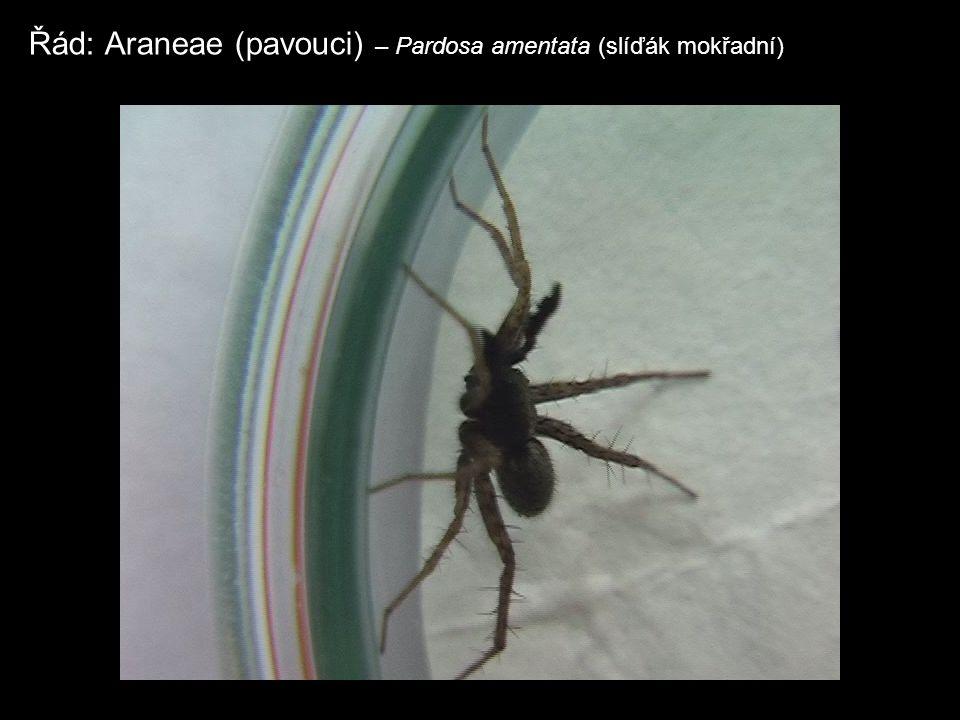 Řád: Araneae (pavouci) – Pardosa amentata (slíďák mokřadní)