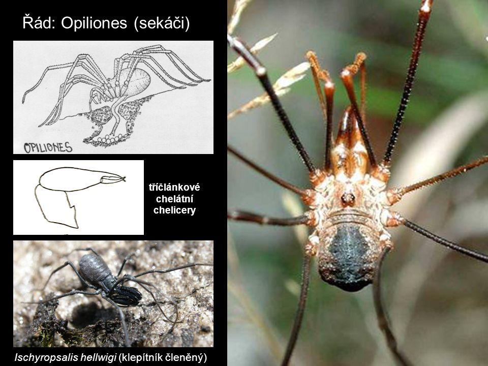 Řád: Opiliones (sekáči) tříčlánkové chelátní chelicery Ischyropsalis hellwigi (klepítník členěný)