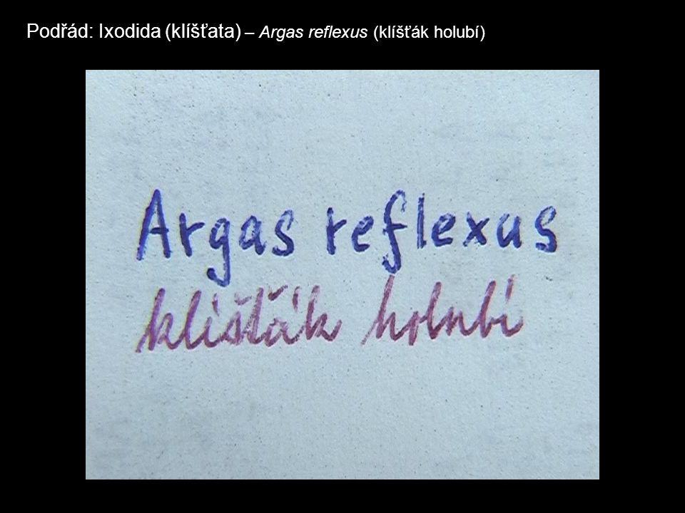 Podřád: Ixodida (klíšťata) – Argas reflexus (klíšťák holubí)