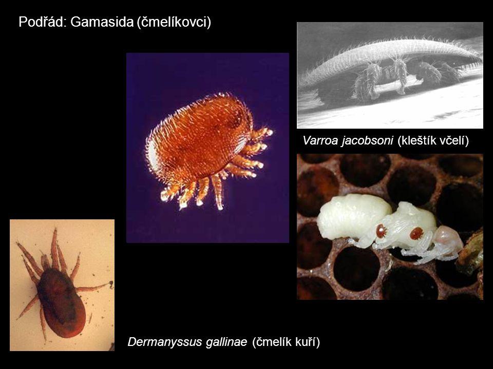 Podřád: Gamasida (čmelíkovci) Varroa jacobsoni (kleštík včelí) Dermanyssus gallinae (čmelík kuří)