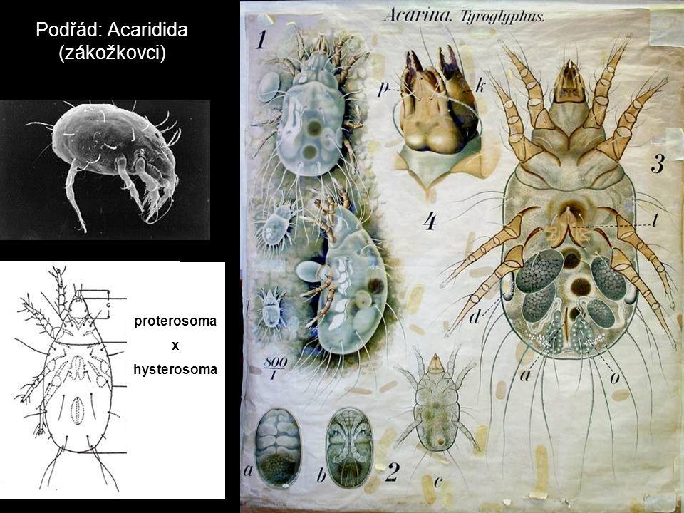 Podřád: Acaridida (zákožkovci) proterosoma x hysterosoma