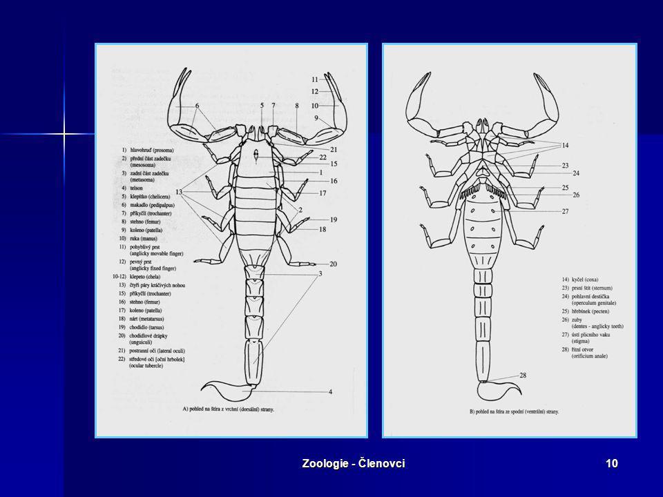 Zoologie - Členovci9 Řád: Štíři Vývojově první členovci na suché zemi. Vývojově první členovci na suché zemi. Dýchají plicními vaky. Dýchají plicními
