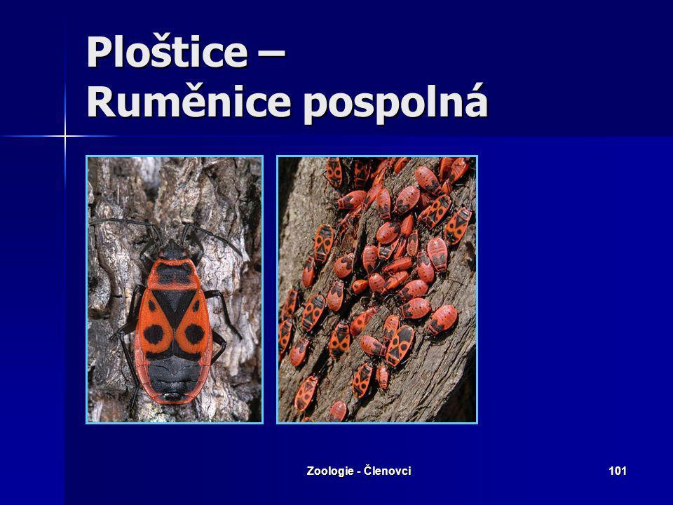 Zoologie - Členovci100 Ploštice – Vroubenka červená
