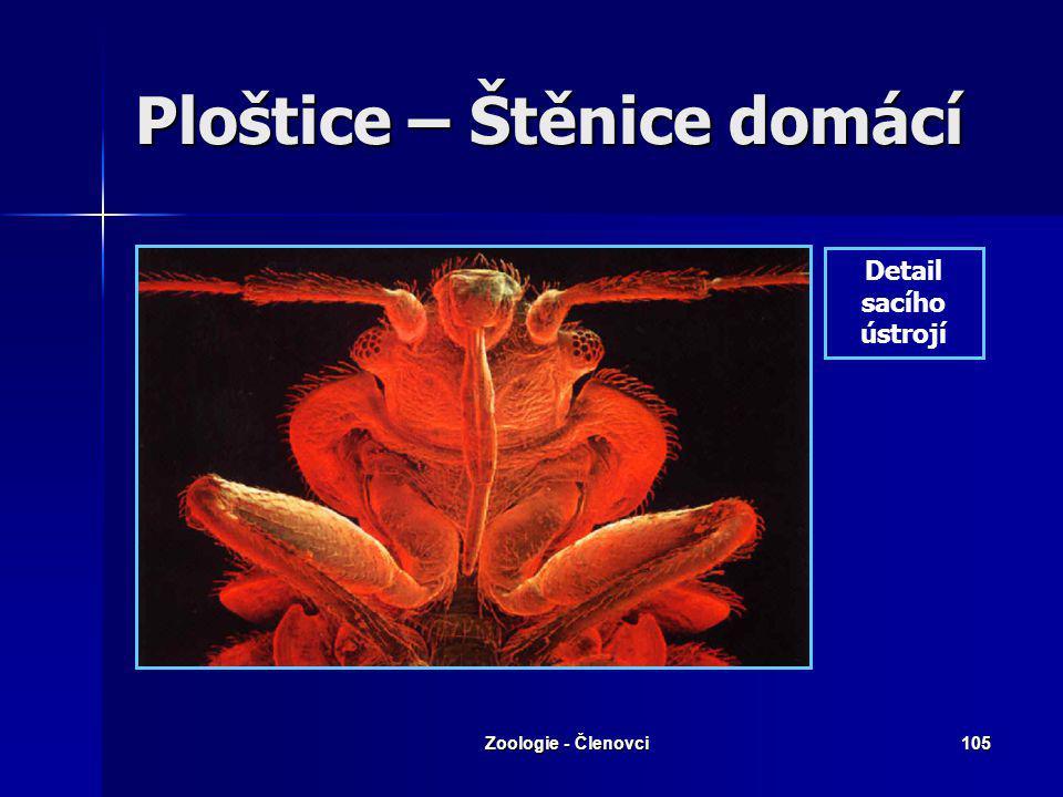 Zoologie - Členovci104 Ploštice – Štěnice domácí Ektoparazit člověka