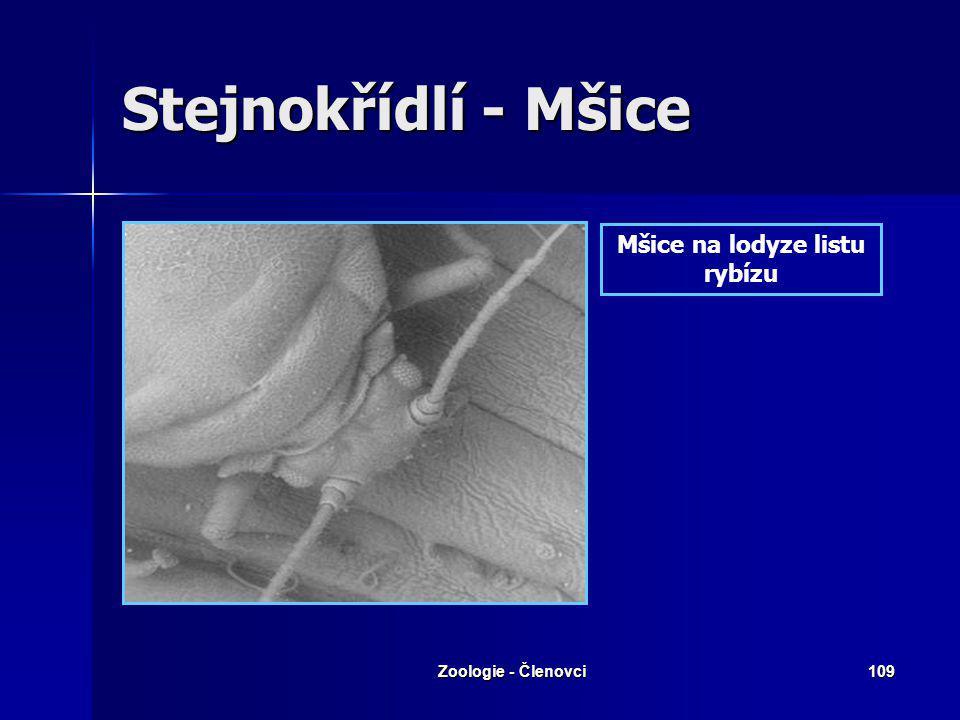 Zoologie - Členovci108 Stejnokřídlí - Mšice Mšice vysává ze svých hostitelů šťávu a rostlině se nedostává sil a živin. Většinou si za vše ale mohou pr