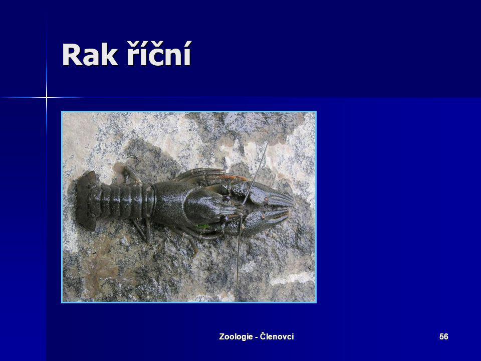 Zoologie - Členovci55 Langusta obecná Nemá klepeta Nemá klepeta Antény delší než tělo Antény delší než tělo