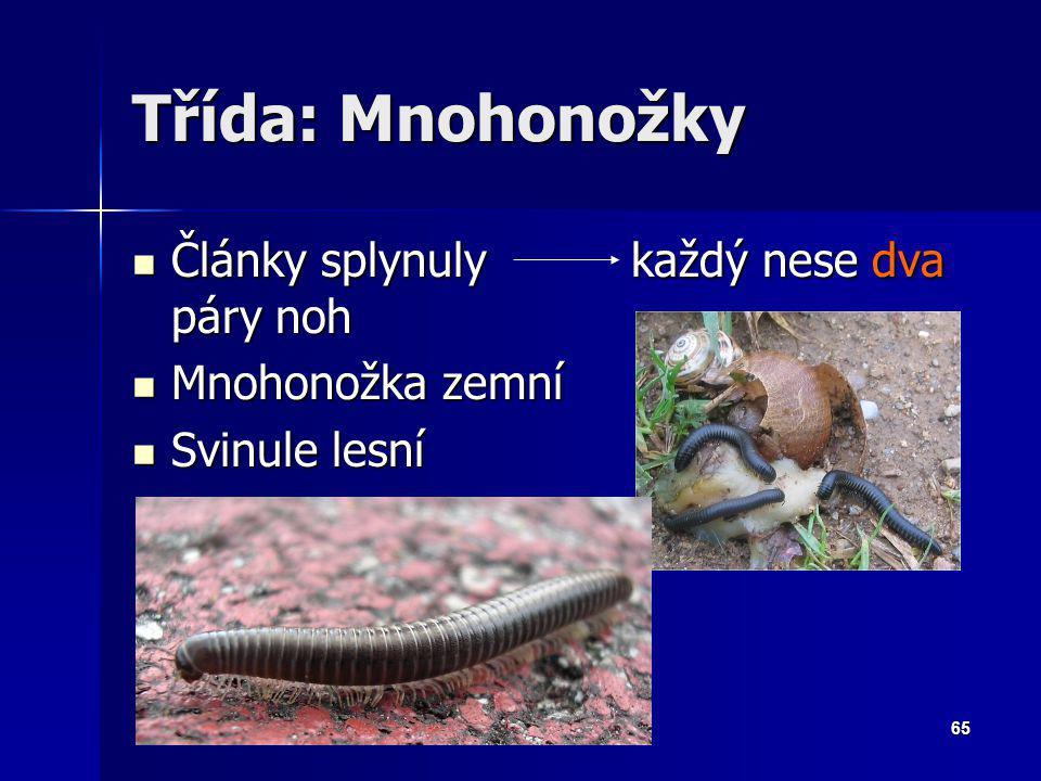Zoologie - Členovci64 Třída: Stonožky Zploštělé tělo Zploštělé tělo Každý článek nese 1 pár noh Každý článek nese 1 pár noh Dravé: 1.pár končetin nese