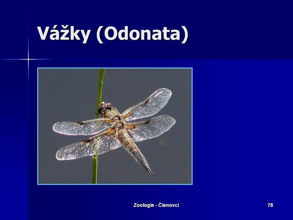 Zoologie - Členovci75 Hemimetabola Vážky Vážky Rovnokřídlí Rovnokřídlí Všekazi Všekazi Švábi Švábi Škvoři Škvoři Ploštice Ploštice Vši Vši Třásnokřídl