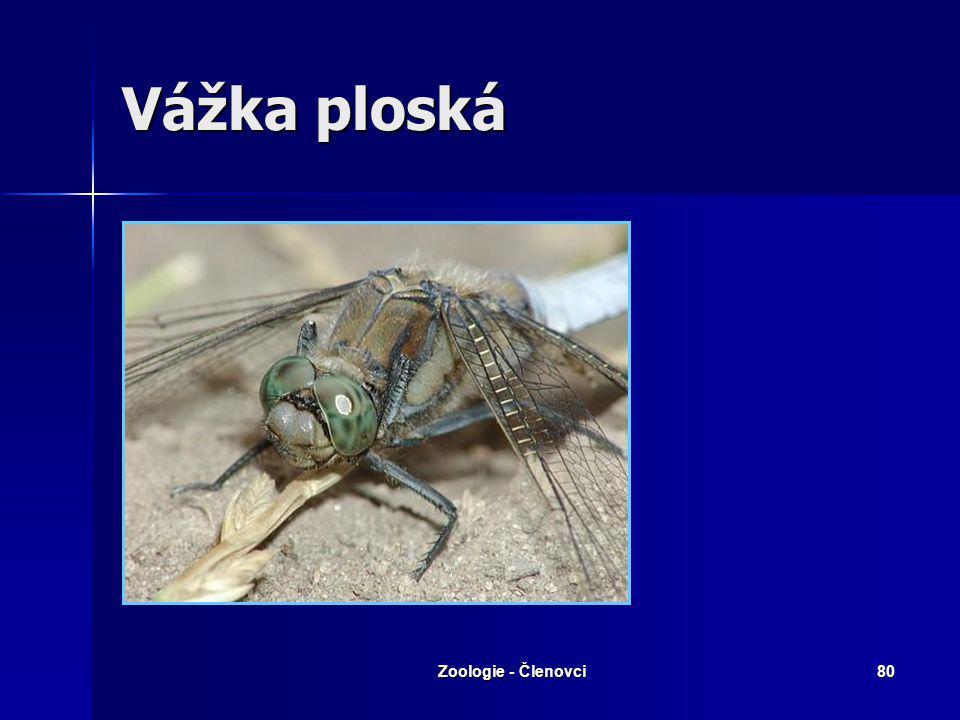 Zoologie - Členovci79 Svlékání do stadia imaga