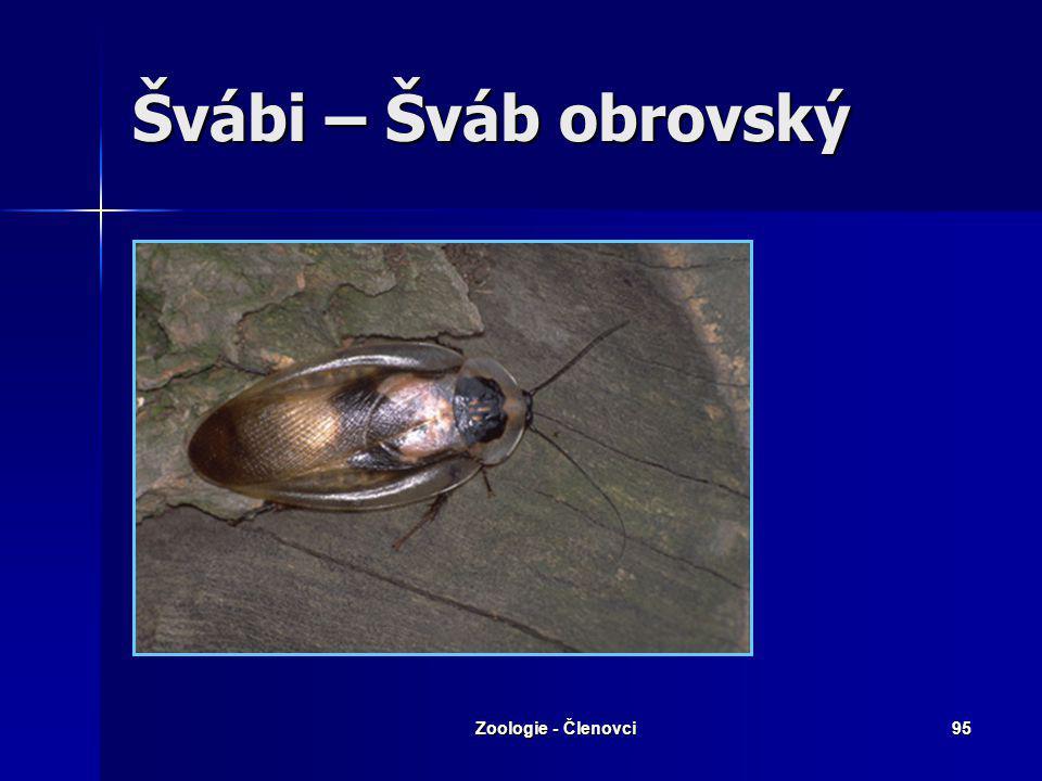 Zoologie - Členovci94 Švábi Šváb obecný Šváb americký