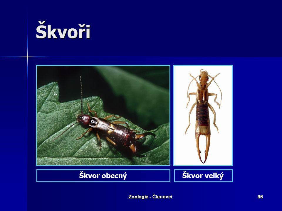 Zoologie - Členovci95 Švábi – Šváb obrovský