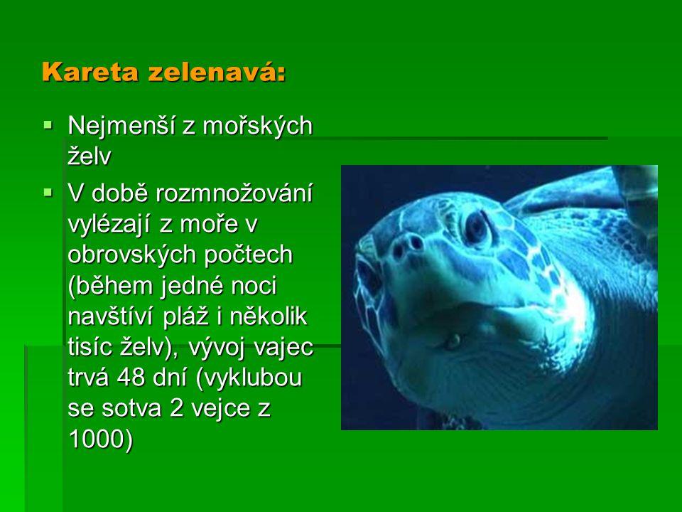 Kareta zelenavá:  Nejmenší z mořských želv  V době rozmnožování vylézají z moře v obrovských počtech (během jedné noci navštíví pláž i několik tisíc