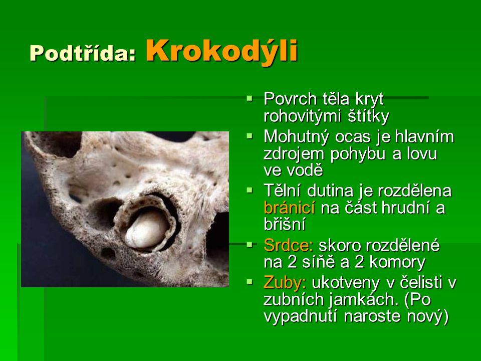 Podtřída: Krokodýli  Povrch těla kryt rohovitými štítky  Mohutný ocas je hlavním zdrojem pohybu a lovu ve vodě  Tělní dutina je rozdělena bránicí n