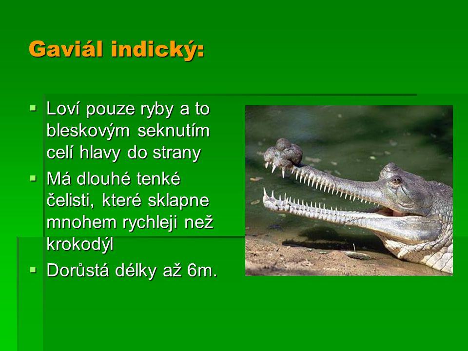Gaviál indický:  Loví pouze ryby a to bleskovým seknutím celí hlavy do strany  Má dlouhé tenké čelisti, které sklapne mnohem rychleji než krokodýl 