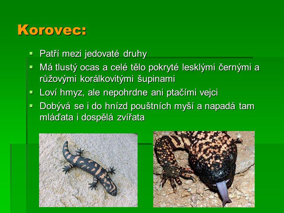 Korovec:  Patří mezi jedovaté druhy  Má tlustý ocas a celé tělo pokryté lesklými černými a růžovými korálkovitými šupinami  Loví hmyz, ale nepohrdn