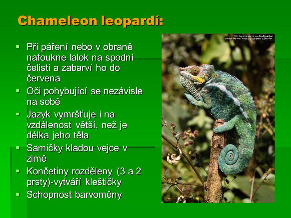 Chameleon leopardí:  Při páření nebo v obraně nafoukne lalok na spodní čelisti a zabarví ho do červena  Oči pohybující se nezávisle na sobě  Jazyk