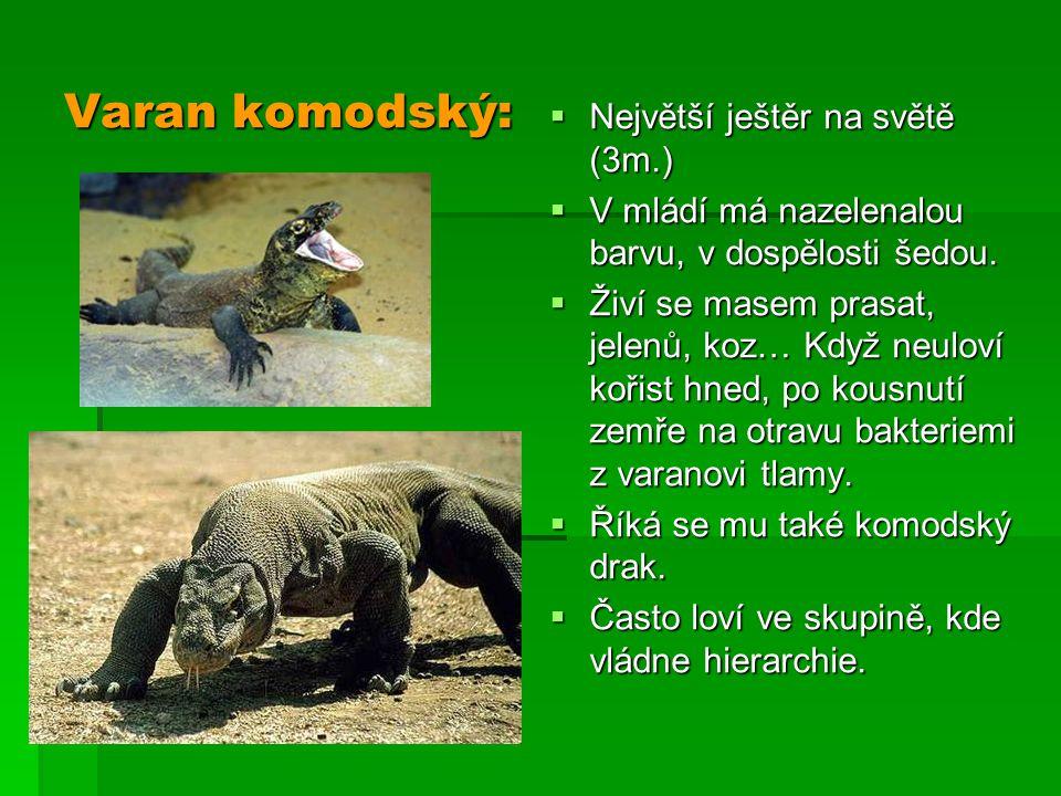 Varan komodský:  Největší ještěr na světě (3m.)  V mládí má nazelenalou barvu, v dospělosti šedou.  Živí se masem prasat, jelenů, koz… Když neuloví