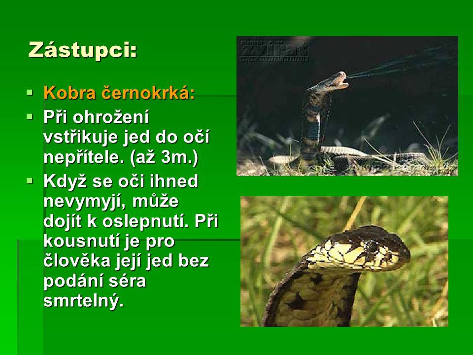 Zástupci:  Kobra černokrká:  Při ohrožení vstřikuje jed do očí nepřítele. (až 3m.)  Když se oči ihned nevymyjí, může dojít k oslepnutí. Při kousnut