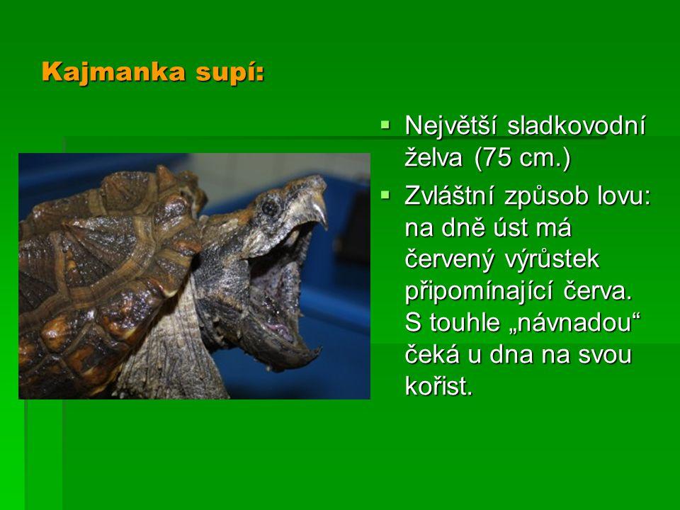 """Kajmanka supí:  Největší sladkovodní želva (75 cm.)  Zvláštní způsob lovu: na dně úst má červený výrůstek připomínající červa. S touhle """"návnadou"""" č"""