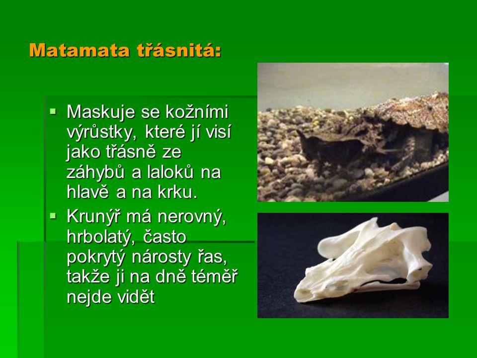 Matamata třásnitá:  Maskuje se kožními výrůstky, které jí visí jako třásně ze záhybů a laloků na hlavě a na krku.  Krunýř má nerovný, hrbolatý, čast