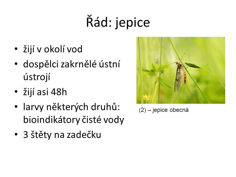 Řád: jepice žijí v okolí vod dospělci zakrnělé ústní ústrojí žijí asi 48h larvy některých druhů: bioindikátory čisté vody 3 štěty na zadečku (2) – jep