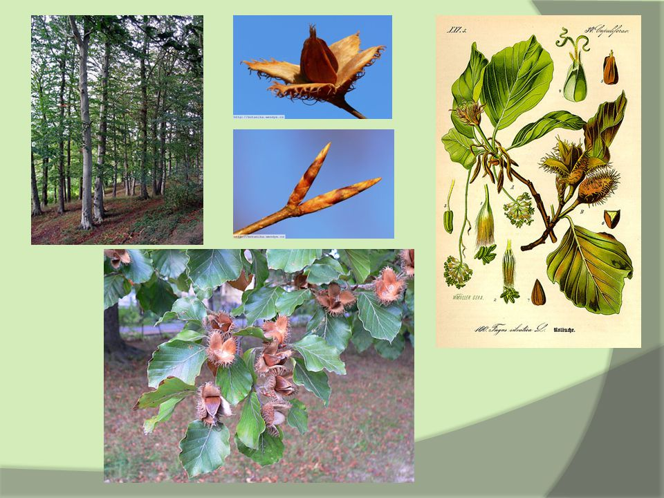 Zástupci – Dub letní  Quercus robur  plod – žalud sedící v číšce  obvejčité, nepravidelně peřenolaločnaté listy  tmavošedá, rozpukaná borka  může se dožít 1500 let  vlhčí místa  výskyt: Evropa, malá Asie a severní Afrika