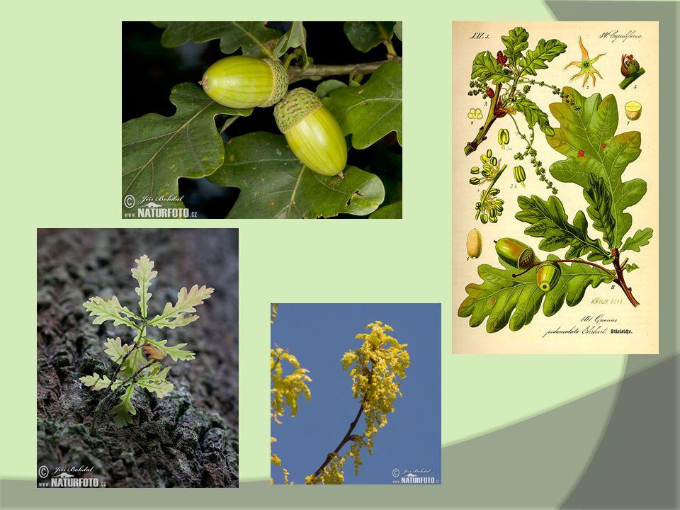 Zástupci – Dub zimní  Quercus petraea  plod - podlouhlé vejcovité žaludy  řapíkaté listy, široce obvejčitá čepel, nejširší v horní polovině  kyselé písčité půdy  výskyt: střední a jižní Evropa