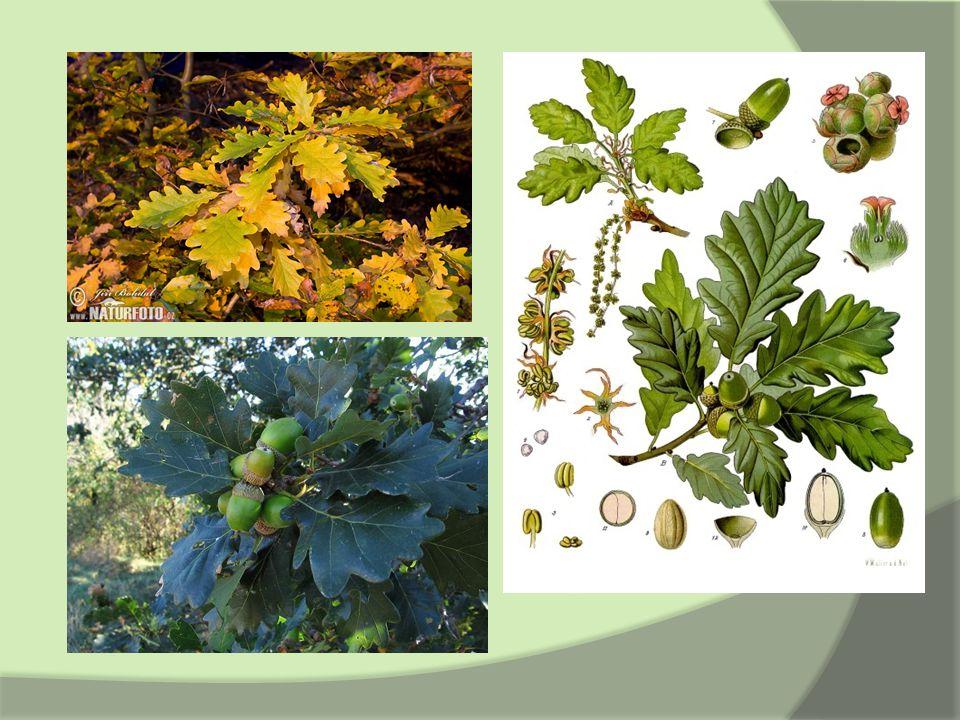 Zástupci – Kaštanovník jedlý  Castanea sativa  kvete v květnu a v červnu  jednodomá a cizoprašná  střídavé listy; list na vrcholu větvičky je největší – tvar podlouhlé elipsy  plody - po 2 – 3 v pichlavém obalu, který puká čtyřmi švy  výskyt: nejvíce v J Evropě a v Přední Asii, u nás ve vinařských oblastech  semena – po tepelné úpravě jsou jedlá