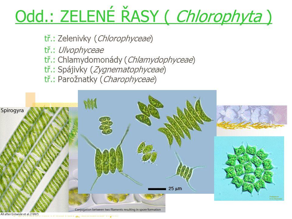 © Letohradské soukromé gymnázium o.p.s. Odd.: ZELENÉ ŘASY ( Chlorophyta ) tř.: Zelenivky (Chlorophyceae) tř.: Ulvophyceae tř.: Chlamydomonády (Chlamyd