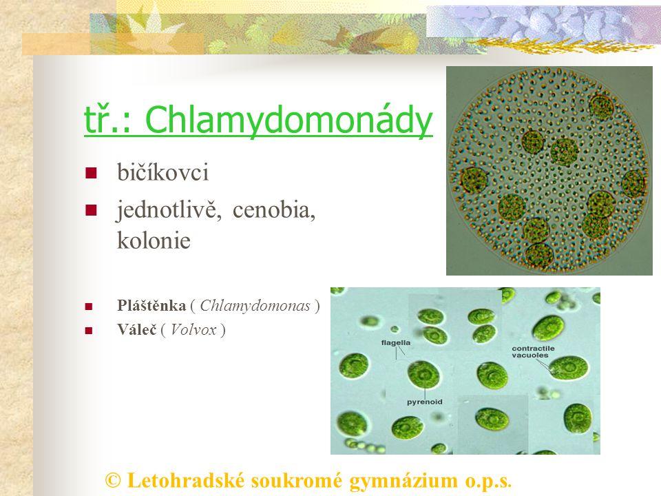 © Letohradské soukromé gymnázium o.p.s. tř.: Chlamydomonády bičíkovci jednotlivě, cenobia, kolonie Pláštěnka ( Chlamydomonas ) Váleč ( Volvox )