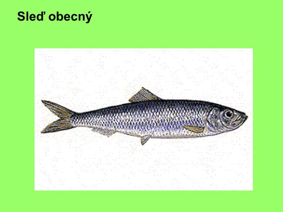 Č:sleďovití, sardinka obecná