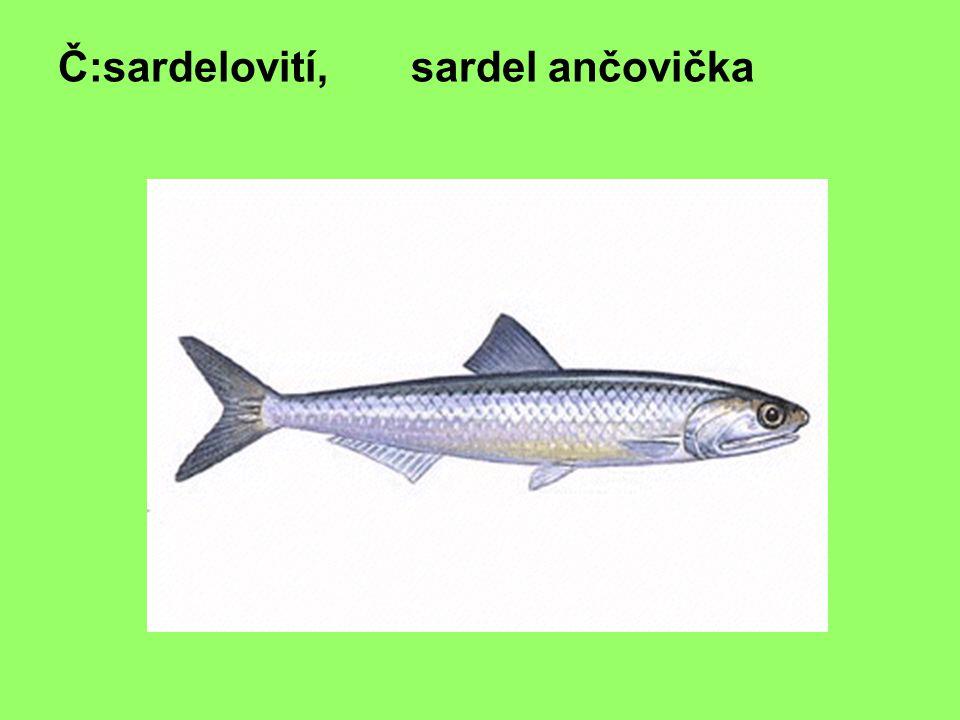 Č:lososovití, losos obecný
