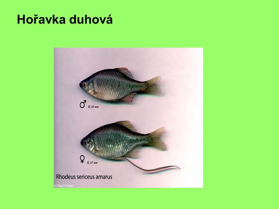 hořavka
