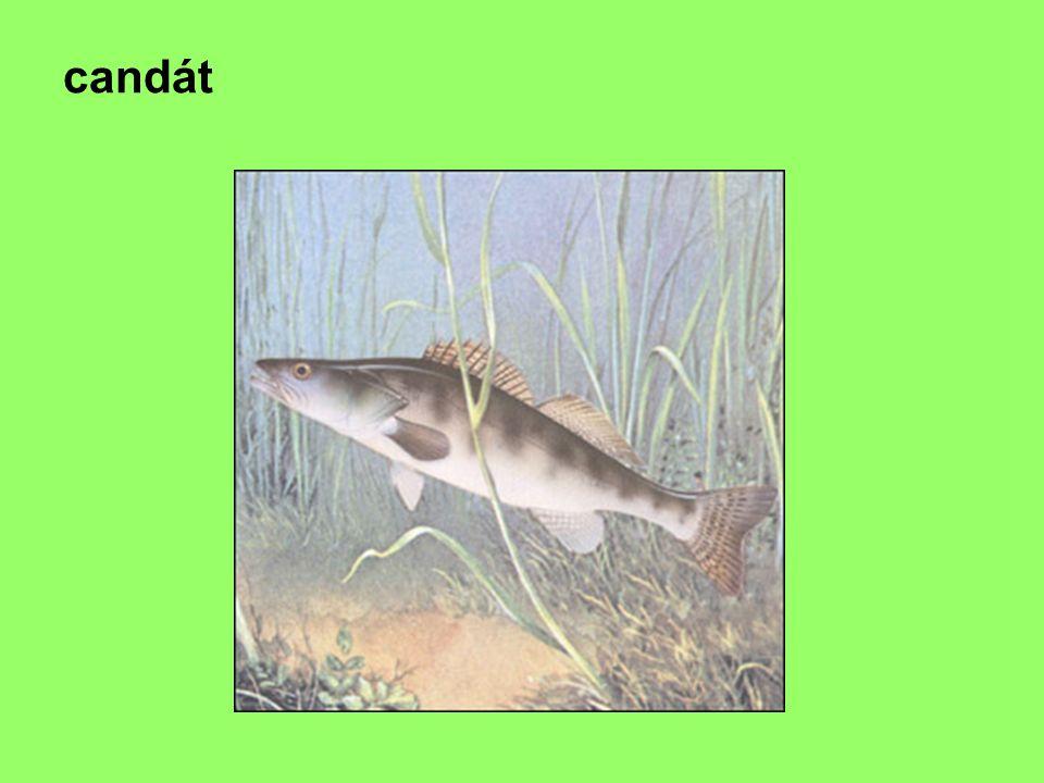 Č: tuňákovití, tuňák obecný