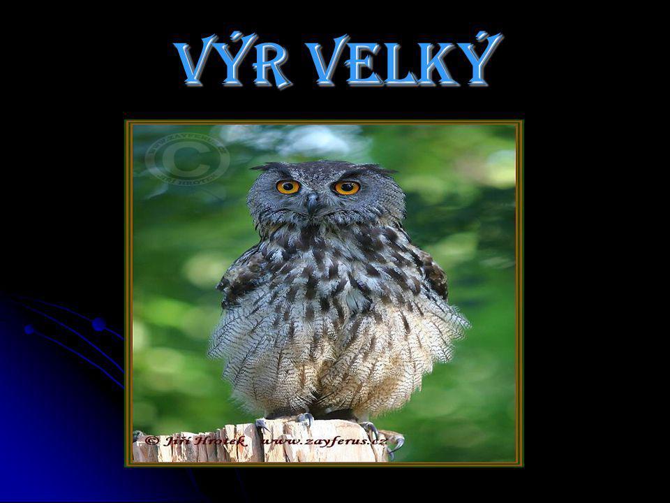Výr velký je naše největší sova.Má sytě oranžové oči a rozpětí až 1,7 metru.