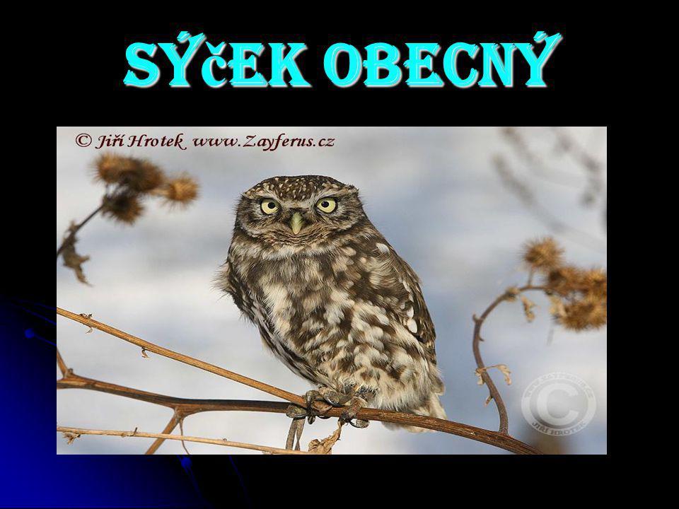 Sýček obecný - v současné době se jedná o nejvíce ohroženou sovu v České republice.
