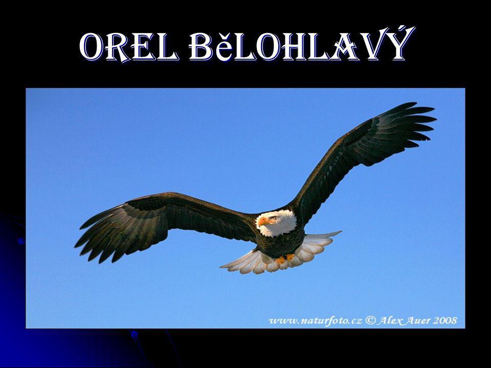 Orel B ě lohlavý