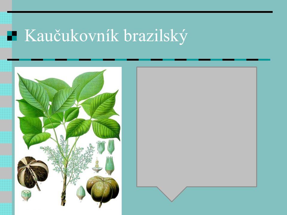 Kaučukovník brazilský