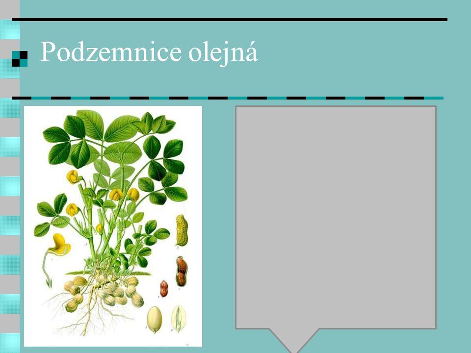 Datlovník