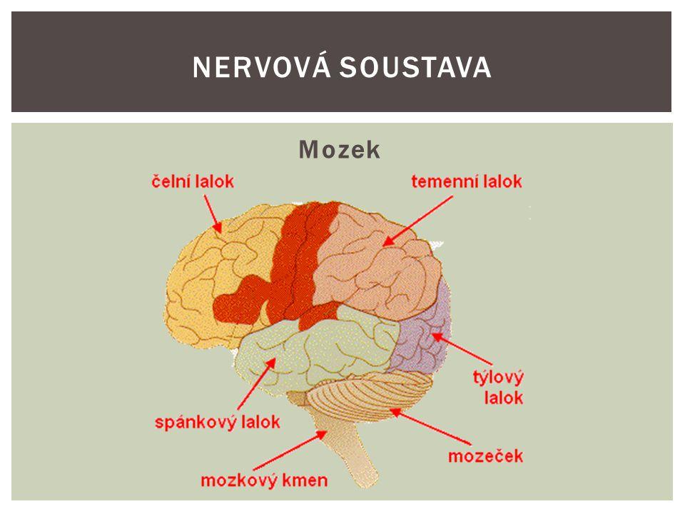 Mozkové polokoule-co řídí NERVOVÁ SOUSTAVA