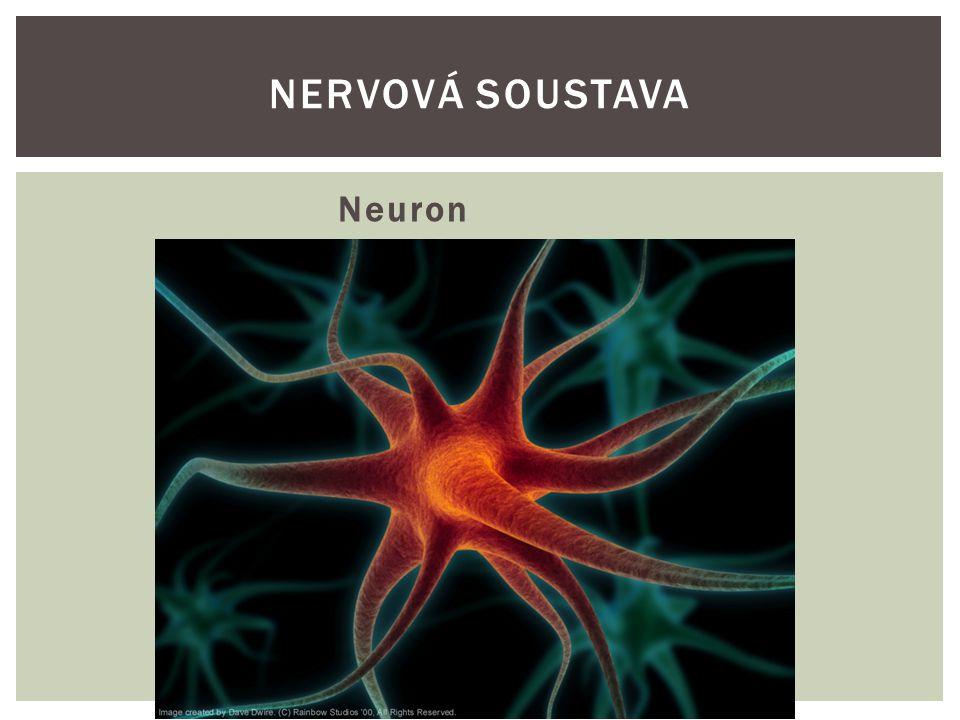 Spojení neuronů NERVOVÁ SOUSTAVA