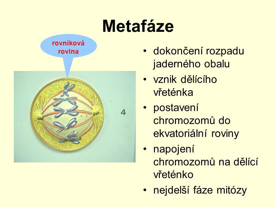 Metafáze dokončení rozpadu jaderného obalu vznik dělícího vřeténka postavení chromozomů do ekvatoriální roviny napojení chromozomů na dělící vřeténko