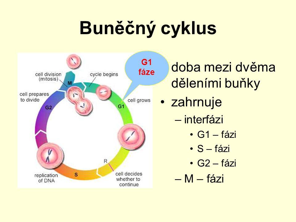 Buněčný cyklus doba mezi dvěma děleními buňky zahrnuje –interfázi G1 – fázi S – fázi G2 – fázi –M – fázi G1 fáze