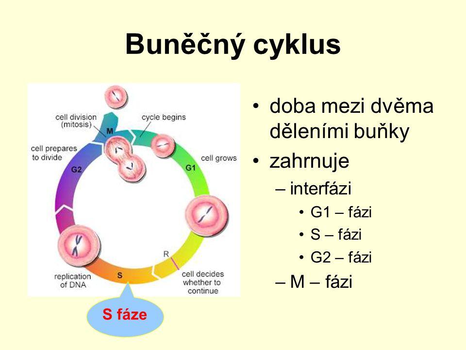 Buněčný cyklus doba mezi dvěma děleními buňky zahrnuje –interfázi G1 – fázi S – fázi G2 – fázi –M – fázi G2 fáze